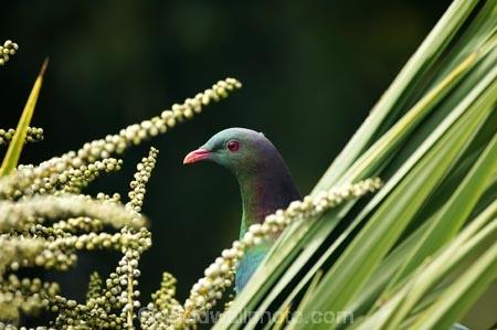beak;bird;bird-watching;bird_watcher;birds;birdwatching;branch;Cabbage-Tree;Cabbage-Trees;Cordyline-australis;Dunedin;endangered;feathers;flies;flight;fly;Hemiphaga-novaseelandiae;Kereru;kuku;kukupa;N.Z.;native;New-Zealand;New-Zealand-Pigeon;New-Zealand-Pigeons;NZ;ornithological;ornithology;orthnological;orthnology;Otago;pigeon;pigeons;protected;S.I.;seed;seed-heads;seed-pod;seed-pods;seeds;SI;South-Is.;South-Island;tree;Wood-Pigeon;Wood-Pigeons