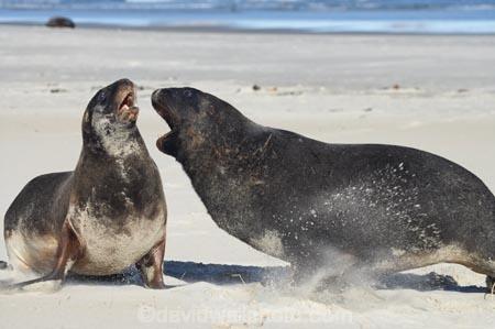 animal;animals;beach;beaches;bull;bulls;coast;coastal;coastline;Dunedin;Hookers-Sea-Lion;Hookers-Sea-Lions;Hookers-Sea-Lion;Hookers-Sea-Lions;male;mammal;mammals;marine-mammal;marine-mammals;N.Z.;New-Zealand;New-Zealand-Sea-Lion;New-Zealand-Sea-Lions;NZ;Otago;Otago-Peninsula;Phocarctos-hookeri;S.I.;sand;Sandfly-Bay;sandy;sea-lion;sea-lions;shore;shoreline;SI;South-Is.;South-Island;wildlife