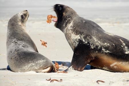 animal;animals;beach;beaches;bull;bulls;coast;coastal;coastline;Dunedin;Hookers-Sea-Lion;Hookers-Sea-Lions;Hookers-Sea-Lion;Hookers-Sea-Lions;juvenile;male;mammal;mammals;marine-mammal;marine-mammals;N.Z.;New-Zealand;New-Zealand-Sea-Lion;New-Zealand-Sea-Lions;NZ;Otago;Otago-Peninsula;Phocarctos-hookeri;regurgitates;regurgitating;regurgitation;S.I.;sand;Sandfly-Bay;sandy;sea-lion;sea-lions;shore;shoreline;SI;South-Is.;South-Island;tag-9003;wildlife