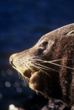 marine;mammal;new-zealand;native;wildlife;natural-history;otago-peninsula