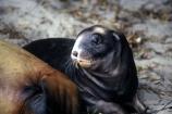 cub;new-zealand;wildlife;marine;mammmal;young;sea_lion;sea_lions;sea-lions;seal;seals;mammals;nz;n.z.;baby;mother;Phocarctos-hookeri