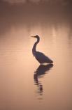 bird;bird-watcher;bird-watchers;birds;birdwatcher;birdwatching;Egretta-alba;estuaries;estuary;fauna;feather;feathers;herons;native;natives;natural
