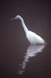 herons;bird;birds;feather;feathers;native;natives;fauna;natural;estuary;estuaries