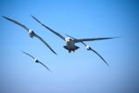 bird;birds;flight;flying;fly;feathers;seabird;ocean;oceans;Diomedea-cauta;attack