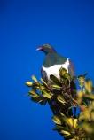 beak;bird;bird-watching;bird_watcher;birds;birdwatching;branch;endangered;feathers;flies;flight;fly;kuku;kukupa;native;ornithological;ornithology;orthnological;orthnology;protected;tree