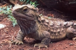 animal;dragon;dragons;lizard;lizards;natural;nature;reptile;reptiles;rhynchocephalia;Sphenodon-punctatus;tuataras;wildlife