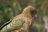 alpine-parrot;alpine-parrots;Animal;Animals;beak;beaks;bird;birds;cheeky;fauna;feather;feathers;indigenous;Kea;keas;native;natives;natural;Nature;nestor-notabilis;New-Zealand;New-Zealand-Alpine-Parrot;Ornithology;parrot;parrots;South-Island;Wild;wildlife
