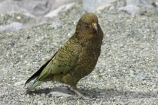 beak;beaks;bird;birds;feather;feathers;native;nestor-notabilis;wildlife;Animal;Animals;fauna;natives;natural;Nature;New-Zealand;Ornithology;South-Island;Wild;Kea;New-Zealand-Alpine-Parrot;parrot;parrots;keas;alpine-parrot;alpine-parrots;cheeky;indigenous