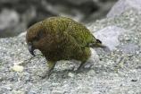 beak;beaks;bird;birds;feather;feathers;native;nestor-notabilis;wildlife;Animal;Animals;fauna;natives;natural;Nature;New-Zealand;Ornithology;South-Island;Wild;Kea;New-Zealand-Alpine-Parrot;parrot;parrots;keas;alpine-parrot;alpine-parrots;cheeky;indigenous