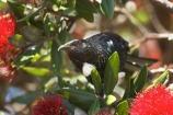 beak;bird;bird-watching;bird_watcher;birds;birdwatching;branch;crimson;endangered;feathers;flies;flight;flower;flowers;fly;icon;icons;leaf;leaves;Metrosideros-excelsa;native;nature;new-zealand;North-Auckland;north-is.;north-island;ornithological;ornithology;orthnological;orthnology;Pohutukawa;pohutukawas;protected;red;summer;symbol;symbols;tree;tui;tuis;Wenderholme-Regional-Park