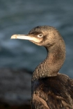 animal;animals;beakbeaks;bird;bird-watcher;bird-watchers;bird-watching;bird_watcher;birds;birdwatcher;birdwatchers;birdwatching;Cormorant;fauna;feather;feathered;feathers;flies;flight;fly;native;natives;natural;nature;New-Zealand;ornithological;ornithology;orthnological;orthnology;Otago-Harbour;protected;Shag;South-Island;spotted;watcher;wildlife