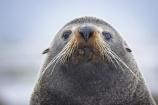 acquatic;Arctocephalus-forsteri;coastline;external-ears;fur;kaikoura;mammal;mammals;marine;marlborough;native;natural-history;nature;new-zealand;nz;ocean;pointy-nose;sea;seal;seals;snout;south-island;water;whiskers;wildife