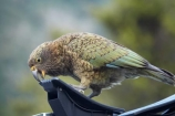 adolescent;alpine-parrot;alpine-parrots;Animal;Animals;beak;beaks;bird;birds;bite;bites;biting;break;canoe-rack;canoe-racks;car;cars;cheeky;damage;damaging;fauna;feather;feathers;Franz-Josef-Glacier;indigenous;juvenile;kayak-rack;kayak-racks;Kea;keas;native;natives;natural;Nature;nestor-notabilis;New-Zealand;New-Zealand-Alpine-Parrot;Ornithology;parrot;parrots;roof-rack;roof-racks;rubber;South-Island;South-West-New-Zealand-World-He;southern-alps;Te-Poutini-National-Park;Te-Wahipounamu;vehicle;vehicles;West-Coast;westland;Westland-National-Park;Wild;wildlife