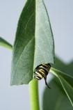 animal;animals;Asclepias;caterpillars;close_up;closeup;Danaus-plexippus;insect;insects;instar;invertebrate;larva;life-cycle;life_cycle;lifecycle;macro;metamorphosis;Milkweed;Monarch-Butterflies;Monarch-Butterfly;Monarch-Caterpillar;Swan-Plant