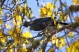 avian;bird;bird-watching;bird_watching;birds;bloom;blooming;blooms;fresh;grow;growth;kowhai;kowhai-flower;kowhai-flowers;kowhai-tree;kowhai-trees;Motueka;N.Z.;Nelson-Region;New-Zealand;NZ;Ornithology;Prosthemadera-novaseelandiae;renew;S.I.;season;seasonal;seasons;SI;Sophora-sp;South-Is.;South-Island;spring;springtime;tui;wildlife;yellow