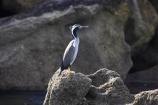 Abel-Tasman-N.P.;Abel-Tasman-National-Park;Abel-Tasman-NP;Animal;animals;avian;Beak;Bird;bird-watching;bird_watching;birds;coastal;cormorant;eco-tourism;eco_tourism;ecotourism;Fauna;Feather;feathers;marine;N.Z.;national-park;national-parks;native;Natural;natural-history;Nature;Nelson-Region;New-Zealand;NZ;Ornithology;Parekareka;S.I.;SI;South-Is.;South-Island;Spotted-Shag;Stictocarbo-punctatus;wild;wildlife