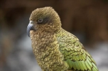 alpine;alpine-parrot;alpine-parrots;Animal;Animals;bird;birds;cheeky;Closeup;close_up;fauna;feather;feathers;fiordland;Fiordland-N.P;Fiordland-National-Park;Fiordland-NP;indigenous;island;kb1a5203;kea;keas;milford;N.Z.;national;national-park;National-parks;native;native-wildlife;natives;natural;nature;nestor;nestor-notabilis;new;new-zealand;New-Zealand-Alpine-Parrot;New-Zealand-NZ;notabilis;NZ;ornithology;park;parrot;parrots;road;S.I.;SI;south;South-Is;South-Is.;South-Island;south-west-new-zealand-world-her;Southland;te-wahipounamu;te-wahipounamu-south_west-new;Wild;Wildlife;World-Heritage-Area;World-Heritage-Site;zealand