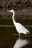 alba;Animal;Animals;aquatic-bird;Aquatic-birds;bird;birds;coast;coastal;coastline;egretta;Egretta-alba;endangered;estuaries;estuary;fauna;feather;feathers;fiordland;Fiordland-N.P;Fiordland-National-Park;Fiordland-NP;foreshore;heron;herons;island;kb1a5300;kotuku;N.Z.;national-park;National-parks;native;natives;natural;nature;new;new-zealand;NZ;ornithology;rare;S.I.;shore;shoreline;SI;south;South-Is.;South-Island;south-west-new-zealand-world-her;Southland;te-wahipounamu;te-wahipounamu-south_west-new;threatened;Wading-bird;Wading-birds;white;White-Heron;Wild;Wildlife;World-Heritage-Area;World-Heritage-Site;zealand