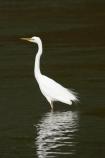 alba;Animal;Animals;aquatic-bird;Aquatic-birds;bird;birds;coast;coastal;coastline;egretta;Egretta-alba;endangered;estuaries;estuary;fauna;feather;feathers;fiordland;Fiordland-N.P;Fiordland-National-Park;Fiordland-NP;foreshore;heron;herons;island;kb1a5318;kotuku;N.Z.;national-park;National-parks;native;natives;natural;nature;new;new-zealand;NZ;ornithology;rare;S.I.;shore;shoreline;SI;south;South-Is.;South-Island;south-west-new-zealand-world-her;Southland;te-wahipounamu;te-wahipounamu-south_west-new;threatened;Wading-bird;Wading-birds;white;White-Heron;Wild;Wildlife;World-Heritage-Area;World-Heritage-Site;zealand