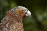 Animal;animals;Avian;beak;beaks;bill;bills;Bird;bird-watching;bird_watching;birds;capital;capitals;eco-tourism;eco_tourism;ecotourism;Fauna;Feather;Kaka;Kakas;Karori-Wildlife-Sanctuary;N.I.;N.Z.;native-bird;native-birds;native-parrot;native-parrots;Natural;Nature;Nestor-meridionalis;New-Zealand;NI;North-Is;North-Island;North-Island-Kaka;North-Island-Kakas;NZ;Ornithology;parrot;parrots;Wellington;wild;Wildlife;Wing