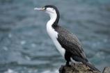 bird;bird-watching;bird_watching;birds;coast;coastal;coastline;coastlines;coasts;Cormorant;eco-tourism;eco_tourism;ecotourism;feather;feathers;foreshore;Karuhiruhi;marine;N.I.;N.Z.;native;natural-history;nature;new-zealand;NI;North-Is;North-Island;NZ;ocean;Phalacrocorax-varius;Pied-Shag;sea;sea-bird;sea-birds;sea_bird;sea_birds;seabird;seabirds;shore;shoreline;shorelines;shores;Te-Kopahou-Reserve;water;Wellington;wildlife