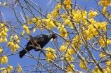 beak;bird;bird-watching;birds;birdwatching;bloom;blooming;blooms;branch;feathers;flower;flowers;icon;icons;kowhai;kowhai-flower;kowhai-flowers;kowhai-tree;kowhai-trees;N.I.;N.Z.;native;nature;nectar-feeder;New-Zealand;NI;north-is.;north-island;NZ;ornithological;ornithology;orthnological;orthnology;Prosthemadera-novaeseelandiae;renew;season;seasonal;seasons;Sophora-sp;spring;springtime;symbol;symbols;Taupo;tree;tui;tuis;yellow
