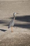 Ardea-novaehollandiae;bird;bird-watching;bird_watching;birds;Coromandel;Coromandel-Peninsula;eco-tourism;eco_tourism;ecotourism;Flaxmill-Bay;heron;herons;Maramaratotara-Bay;marine;N.I.;N.Z.;native;natural-history;nature;new-zealand;NI;North-Is;North-Is.;North-Island;NZ;Waikato;White-faced-Heron;White-faced-Herons;White_faced-Heron;White_faced-Herons;wildlife;wings