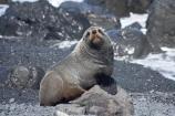 arctocephalus;Arctocephalus-forsteri;Cape-Palliser;coast;coastal;coastline;coastlines;coasts;foreshore;forsteri;fur;Fur-Seal;Fur-Seals;island;Lower-North-Island;N.I.;N.Z.;N.Z.-Fur-Seal;N.Z.-Fur-Seals;new;new-zealand;New-Zealand-Fur-Seal;New-Zealand-Fur-Seals;ngawi;NI;north;North-Is;north-is.;north-island;NZ;NZ-Fur-Seal;NZ-Fur-Seals;o8l6393;ocean;Palliser-Bay;sea;seal;seals;shore;shoreline;shorelines;shores;wairarapa;water;zealand