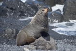 arctocephalus;Arctocephalus-forsteri;Cape-Palliser;coast;coastal;coastline;coastlines;coasts;foreshore;forsteri;fur;Fur-Seal;Fur-Seals;island;Lower-North-Island;N.I.;N.Z.;N.Z.-Fur-Seal;N.Z.-Fur-Seals;new;new-zealand;New-Zealand-Fur-Seal;New-Zealand-Fur-Seals;ngawi;NI;north;North-Is;north-is.;north-island;NZ;NZ-Fur-Seal;NZ-Fur-Seals;o8l6394;ocean;Palliser-Bay;sea;seal;seals;shore;shoreline;shorelines;shores;wairarapa;water;zealand