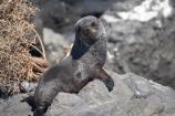 arctocephalus;Arctocephalus-forsteri;baby;Cape-Palliser;coast;coastal;coastline;coastlines;coasts;cub;cubs;foreshore;forsteri;fur;Fur-Seal;Fur-Seals;island;Lower-North-Island;N.I.;N.Z.;N.Z.-Fur-Seal;N.Z.-Fur-Seals;new;new-zealand;New-Zealand-Fur-Seal;New-Zealand-Fur-Seals;ngawi;NI;north;North-Is;north-is.;north-island;NZ;NZ-Fur-Seal;NZ-Fur-Seals;o8l6403;ocean;Palliser-Bay;sea;seal;seals;shore;shoreline;shorelines;shores;wairarapa;water;zealand