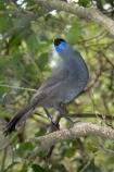 Animal;Animals;Avian;bird;bird-watching;birds;bird_watching;blue-wattle;blue-wattles;bruce;callaeas;Callaeas-cinerea;centre;cinerea;eco-tourism;ecotourism;eco_tourism;fauna;island;kokako;Lower-North-Island;mount;Mount-Bruce-Wildlife-Centre;Mt-Bruce-Wildlife-Centre;Mt.-Bruce-Wildlife-Centre;N.I.;N.Z.;natural;nature;new;new-zealand;NI;north;North-Is;north-is.;north-island;North-Island-Kokako;NZ;o8l6804;ornithology;Pukaha;Pukaha-Mount-Bruce-Wildlife-Cent;rare-endemic;wairarapa;Wild;Wildlife;zealand