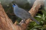 Animal;Animals;Avian;bird;bird-watching;birds;bird_watching;blue-wattle;blue-wattles;bruce;callaeas;Callaeas-cinerea;centre;cinerea;eco-tourism;ecotourism;eco_tourism;fauna;island;kokako;Lower-North-Island;mount;Mount-Bruce-Wildlife-Centre;Mt-Bruce-Wildlife-Centre;Mt.-Bruce-Wildlife-Centre;N.I.;N.Z.;natural;nature;new;new-zealand;NI;north;North-Is;north-is.;north-island;North-Island-Kokako;NZ;o8l6972;ornithology;Pukaha;Pukaha-Mount-Bruce-Wildlife-Cent;rare-endemic;wairarapa;Wild;Wildlife;zealand