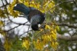 Animal;Animals;Avian;bird;bird-watching;birds;birdwatching;bird_watching;bloom;blooming;blooms;branch;bruce;centre;eco-tourism;ecotourism;eco_tourism;fauna;feathers;flower;flowers;icon;icons;island;kowhai;Kowhai-Flower;Kowhai-Flowers;kowhai-tree;kowhai-trees;Lower-North-Island;mount;Mount-Bruce-Wildlife-Centre;Mt-Bruce-Wildlife-Centre;Mt.-Bruce-Wildlife-Centre;N.I.;N.Z.;native;natural;nature;nectar-feeder;new;new-zealand;NI;north;North-Is;north-is.;north-island;novaeseelandiae;NZ;o8l7114;ornithological;ornithology;orthnological;orthnology;prosthemadera;Prosthemadera-novaeseelandiae;Pukaha;Pukaha-Mount-Bruce-Wildlife-Cent;renew;season;seasonal;seasons;sophora;Sophora-sp;spring;springtime;tree;tui;tuis;wairarapa;Wild;Wildlife;yellow;zealand