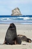 animal;animals;beach;beaches;bull;bulls;coast;coastal;coastline;Dunedin;Gull-Rocks;Hookers-Sea-Lion;Hookers-Sea-Lions;Hookers-Sea-Lion;Hookers-Sea-Lions;Lion-Rock;Lions-Head-Rock;male;mammal;mammals;marine-mammal;marine-mammals;N.Z.;New-Zealand;New-Zealand-Sea-Lion;New-Zealand-Sea-Lions;NZ;Otago;Otago-Peninsula;Phocarctos-hookeri;S.I.;sand;Sandfly-Bay;sandy;sea-lion;sea-lions;shore;shoreline;SI;South-Is.;South-Island;wildlife