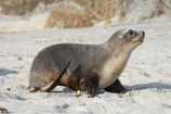 animal;animals;beach;beaches;coast;coastal;coastline;Dunedin;Hookers-Sea-Lion;Hookers-Sea-Lions;Hookers-Sea-Lion;Hookers-Sea-Lions;juvenile;mammal;mammals;marine-mammal;marine-mammals;N.Z.;New-Zealand;New-Zealand-Sea-Lion;New-Zealand-Sea-Lions;NZ;Otago;Otago-Peninsula;Phocarctos-hookeri;S.I.;sand;Sandfly-Bay;sandy;sea-lion;sea-lion-calf;sea-lion-calfs;sea-lion-cub;sea-lion-cubs;sea-lion-pup;sea-lion-pups;sea-lions;shore;shoreline;SI;South-Is.;South-Island;tag-9003;wildlife