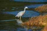 Ardea-novaehollandiae;bird;bird-watching;bird_watching;birds;calm;coastal;Dunedin;eco-tourism;eco_tourism;ecotourism;heron;herons;Hoopers-Inlet;marine;N.I.;N.Z.;native;natural-history;nature;new-zealand;NZ;ocean;Otago;Otago-Peninsula;placid;quiet;reflection;reflections;S.I.;sea;serene;SI;smooth;South-Is;South-Island;Sth-Is;still;tranquil;water;White-faced-Heron;White-faced-Herons;White_faced-Heron;White_faced-Herons;wildlife;wings