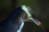 Dunedin;eco-tourism;eco_tourism;ecotourism;endangered;Hoiho;indigenous;Megadyptes-antipodes;N.Z.;natural-history;nature;New-Zealand;new-zealand-native;NZ;Otago;Otago-Peninsula;penguin;Penguin-Place;penguins;protected;S.I.;SI;South-Is;South-Island;Sth-Is;threatened;wildlife;yellow-eye-penguin;yellow-eyed;Yellow-Eyed-Penguin;Yellow_Eyed-Penguin