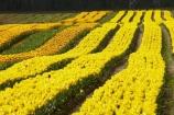 Agassiz;B.C.;BC;bloom;blooming;blooms;British-Columbia;Canada;Canadian;color;colorful;colors;colour;colourful;colours;country;countryside;cultivation;farm;farming;farmland;farms;field;fields;flora;floral;flower;flower-farm;flower-farming;flower-farms;flowers;Fraser-Valley;fresh;garden;grow;growing;growth;horticulture;la-Colombie_Britannique;North-America;paddock;paddocks;renew;rural;Seabird-Island;season;seasonal;seasons;spring;springtime;tulip;tulip-bulb-growing;tulip-farm;tulip-farming;tulip-farms;tulip-field;Tulip-Fields;Tulipa-sp.;tulips;Tulips-of-the-Valley;yellow