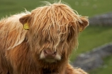 agricultural;agriculture;animal;animals;Britain;British-Isles;calves;cattle;country;countryside;cow;cows;England;English-countryside;Europe;eyes;face;farm;farming;farmland;farms;field;fields;fur;G.B.;GB;Great-Britain;hair;hairy;head;Herbivore;Herbivores;Herbivorous;highland-cattle;highland-cow;highland-cows;horticulture;Livestock;long-hair;long-haired;long_haired;longhaired;Malham;mammal;mammals;meadow;meadows;North-Yorkshire;Northern-England;nose;paddock;paddocks;pasture;pastures;rural;scottish-cattle;scottish-cow;scottish-cows;stock;U.K.;UK;United-Kingdom;Yorkshire;Yorkshire-countryside;Yorkshire-Dales;Yorkshire-Farm;Yorkshire-Farmland;Yorkshire-Farmlands;Yorkshire-Farms