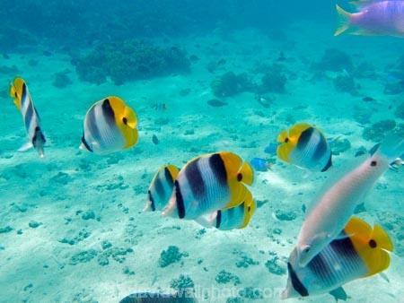 aqua;aquamarine;blue;butterflyfish;Chaetodon-ulietensis;Chaetodontidae;clean-water;clear-water;coast;coastal;coasts;cobalt-blue;cobalt-ultramarine;cobaltultramarine;coral-reef;coral-reefs;diving;Double-Saddle-Butterfly-fish;Double-Saddle-Butterflyfish;Doublesaddle-Butterfly-fish;Doublesaddle-Butterflyfish;False-Falcula-Butterfly-fish;False-Falcula-Butterflyfish;False-Furcula-Butterflyfish;Fij;Fiji;Fiji-Islands;fish;fishes;Halichoeres-trimaculatus;island;islands;Malolo-Lailai-Is;Malolo-Lailai-Island;Malololailai-Is;Malololailai-Island;Mamanuca-Group;Mamanuca-Is;Mamanuca-Island-Group;Mamanuca-Islands;Mamanucas;marine;marine-life;marinelife;ocean;oceanlife;Pacific;Pacific-Double_saddle-Butterflyfish;Pacific-Island;Pacific-Islands;Plantation-Is;Plantation-Is-Resort;Plantation-Island;Plantation-Island-Resort;reef;reefs;Saddled-Butterfly-fish;Saddled-Butterflyfish;sea;sealife;snorkelling;South-Pacific;teal-blue;Three-spot-wrasse;Threespot-wrasse;tropical-fish;tropical-island;tropical-islands;tropical-reef;tropical-reefs;turquoise;under-water;under_water;undersea;underwater;underwater-photo;underwater-photography;underwater-photos;water