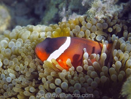 Amphiprion-frenatus;Amphiprion-melanopus;anemone;anemone-fish;Anemonefish;Anemonefishes;black-anemonefish;bridled-clownfish;bubble-anemone;bubble-tip-anemone;bubble_tip-anemone;bulb-anemone;Cinnamon-clownfish;Clownfish;Clownfishes;Coral-Coast;coral-reef;coral-reefs;diving;Entacmaea-quadricolor;Fij;Fiji-Islands;fire-clownfish;fish;Korotogo;marine;marine-environment;marine-life;marinelife;oceanlife;Outrigger-on-the-Lagoon;Pacific;Pacific-Ocean;red-and-black-anemonefish;red-clownfish;reef;reefs;scuba-diving;sealife;Sigatoka;South-Pacific;tomato-anemonefish;tomato-clownfish;tropical-fish;tropical-fishes;tropical-reef;tropical-reefs;under-water;under_water;undersea;underwater;underwater-photo;underwater-photography;underwater-photos;Viti-Levu;Viti-Levu-Island