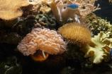 Amphiprion-frenatus;bridled-clownfish;Coral-Coast;coral-reef;coral-reefs;Fij;Fiji-Islands;Korotogo;Kula-Eco-Park;Kula-Ecopark;marine;marine-life;marinelife;oceanlife;Pacific;red-clownfish;reef;reefs;sealife;Sigatoka;South-Pacific;tomato-anemonefish;tomato-clownfish;tourist-attraction;tourist-attractions;tropical-fish;tropical-fishes;tropical-reef;tropical-reefs;under-water;under_water;undersea;underwater;underwater-photo;underwater-photography;underwater-photos;Viti-Levu;Viti-Levu-Island