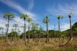 Carica-papaya;Coral-Coast;Fij;Fiji;Fiji-Islands;fruit;Lower-Sigatoka-River-Valley;Lower-Sigatoka-Valley;Pacific;papaw;papaya;papaya-orchard;papaya-plantation;papayas;pawpaw;pawpaw-orchard;pawpaw-plantation;pawpaws;Sigatoka;Sigatoka-Valley;South-Pacific;tropical-fruit;Viti-Levu
