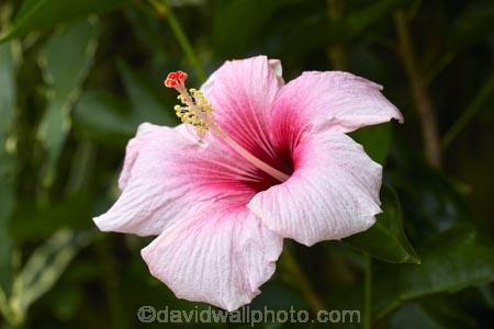 Akapuao-Tapere;bloom;blooms;Cook-Is;Cook-Islands;flower;flowers;garden;gardens;hibiscus;Hibiscus-flower;Hibiscus-flowers;hibiscuses;Maire-Nui;Maire-Nui-Botanical-Gardens;Maire-Nui-Gardens;Mairie-Nui;Mairie-Nui-Botanical-Gardens;Mairie-Nui-Gardens;Pacific;pink;pink-flower;pink-flowers;plant;plants;Rarotonga;South-Pacific;Titakaveka;tropical;tropical-flower;tropical-flowers;tropical-garden;tropical-gardens;tropical-island;tropical-islands;tropical-plant;tropical-plants