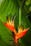 Akapuao-Tapere;bloom;blooms;Cook-Is;Cook-Islands;flower;flowers;garden;gardens;Heliconia;heliconia-psittacorum;heliconias;Mairie-Nui;Mairie-Nui-Botanical-Gardens;Mairie-Nui-Gardens;Pacific;Parrot-Flower;Parrot-Flowers;plant;plants;Rarotonga;South-Pacific;Titakaveka;tropical;tropical-flower;tropical-flowers;tropical-garden;tropical-gardens;tropical-island;tropical-islands;tropical-plant;tropical-plants