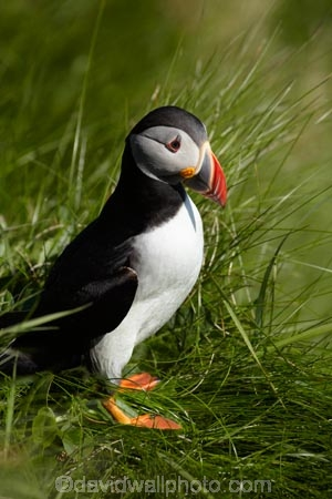 Alcidae;Alcinae;Animal;animals;Argyll-and-Bute;Atlantic-Puffin;Atlantic-Puffins;auk-family;Aves;avian;Beak;Bird;bird-watching;bird_watching;birds;Britain;Charadriiformes;Chordata;coastal;Common-Puffin;Common-Puffins;eco-tourism;eco_tourism;ecotourism;F.-arctica;Fauna;feather;feathers;Fratercula;Fratercula-arctica;Fraterculini;G.B.;GB;Great-Britain;Highlands;Inner-Hebrides;Island-of-Mull;Island-of-Staffa;Isle-of-Mull;Isle-of-Staffa;Lari;marine;Mull;Mull-Island;National-Nature-Reserve;Natural;natural-history;nature;Neoaves;Neognathae;Neornithes;Ornithology;pelagic-bird;pelagic-birds;puffin;puffins;Scotland;Scottish-Highlands;seabird-species;Stafa;Staffa;Staffa-Island;U.K.;UK;United-Kingdom;wild;wildlife
