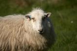 agricultural;agriculture;Animal;Animals;Britain;British-Isles;country;countryside;Cymru;ewe;ewes;farm;Farm-animals;farming;farmland;farms;field;fields;G.B.;GB;Great-Britain;herbivore;herbivores;herbivorous;livestock;mammal;mammals;meadow;meadows;Outdoor;Outdoors;Outside;paddock;paddocks;pasture;pastures;rural;sheep;stock;U.K.;UK;United-Kingdom;Wales;white;wool;woolly;wooly
