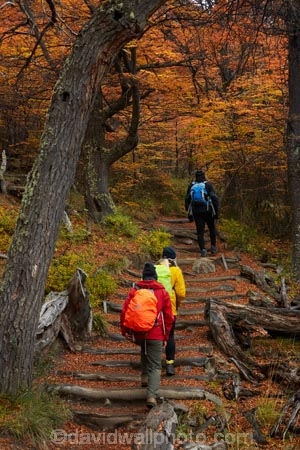 Argentina;Argentine-Patagonia;Argentine-Republic;autuminal;autumn;autumn-colour;autumn-colours;autumnal;beech;beech-tree;beech-trees;beeches;color;colors;colour;colours;deciduous;El-Chalten;fall;Glacier-National-Park;gold;golden;hiker;hikers;hiking;hiking-path;hiking-paths;hiking-trail;hiking-trails;Latin-America;leaf;leaves;lenga;lenga-beech;lengas;Los-Glaciares;Los-Glaciares-N.P.;Los-Glaciares-National-Park;Los-Glaciares-NP;M.R.;model-release;model-released;MR;national-park;national-parks;Northofagus;Northofagus-pumilio;NP;park;parks;Parque-Nacional-Los-Glaciares;Patagonia;Patagonian;path;paths;pathway;pathways;people;person;route;routes;Santa-Cruz-Province;season;seasonal;seasons;South-America;South-Argentina;Southern-Argentina;southern-beech;southern-beeches;Sth-America;track;tracks;trail;trails;tramper;trampers;tramping;tramping-trail;tramping-trails;tree;trees;trekker;trekkers;trekking;UN-world-heritage-area;UN-world-heritage-site;UNESCO-World-Heritage-area;UNESCO-World-Heritage-Site;united-nations-world-heritage-area;united-nations-world-heritage-site;walker;walkers;walking;walking-path;walking-paths;walking-trail;walking-trails;walkway;walkways;world-heritage;world-heritage-area;world-heritage-areas;World-Heritage-Park;World-Heritage-site;World-Heritage-Sites;yellow