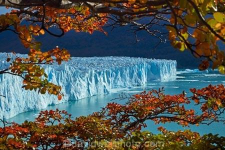 Argentina;Argentine-Patagonia;Argentine-Republic;Argentino-Lake;autuminal;autumn;autumn-colour;autumn-colours;autumnal;beech;beech-tree;beech-trees;beeches;blue-ice;Canal-de-los-Tempanos;cold;color;colors;colour;colours;deciduous;fall;Glaciar-Perito-Moreno;glacier;glacier-face;Glacier-National-Park;glacier-terminal-face;glacier-terminus;glaciers;gold;golden;ice;Iceberg-Channel;icefield;icefields;icy;Lago-Argentino;Latin-America;leaf;leaves;lenga;lenga-beech;lengas;Los-Glaciares;Los-Glaciares-N.P.;Los-Glaciares-National-Park;Los-Glaciares-NP;Magellanes-Peninsula;national-park;national-parks;Northofagus;Northofagus-pumilio;NP;orange;park;parks;Parque-Nacional-Los-Glaciares;Patagonia;Patagonian;Peninsula-Magellanes;Perito-Moreno;Perito-Moreno-Glacier;Santa-Cruz-Province;season;seasonal;seasons;South-America;South-Argentina;Southern-Argentina;southern-beech;southern-beeches;Sth-America;terminal-face;terminus;travel;tree;trees;UN-world-heritage-area;UN-world-heritage-site;UNESCO-World-Heritage-area;UNESCO-World-Heritage-Site;united-nations-world-heritage-area;united-nations-world-heritage-site;world-heritage;world-heritage-area;world-heritage-areas;World-Heritage-Park;World-Heritage-site;World-Heritage-Sites;yellow
