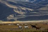 agricultural;agriculture;Argentina;Argentine-Patagonia;Argentine-Republic;country;countryside;El-Chalten;equestrian;farm;farming;farmland;farms;field;fields;horse;horses;Latin-America;meadow;meadows;paddock;paddocks;pasture;pastures;Patagonia;Patagonian;Patagonian-steppe;plain;plains;rural;Santa-Cruz-Province;South-America;South-Argentina;Southern-Argentina;Sth-America;wild-horse;wild-horses